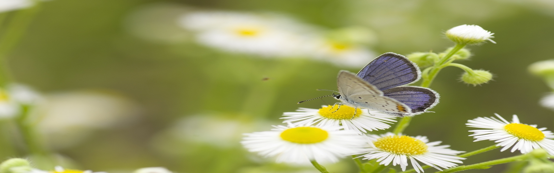butterfly-daisies